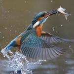 Kingfisher, Alcedo atthis