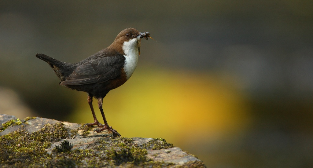 The Dipper - icon of healthy rivers systems - is a major area of interest for Duress (Photo by Prof Charles Tyler)